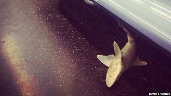Zdjęcie martwego rekina wykonane przez pasażerkę metra.