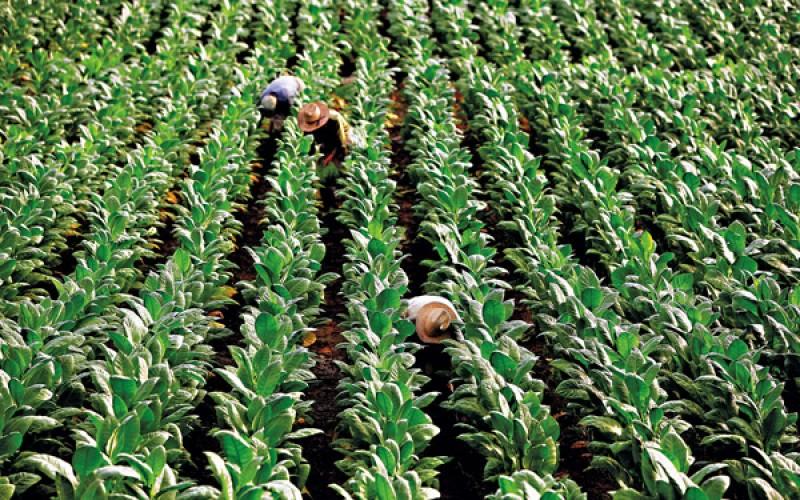 plantacja-tytoniu-800x500_c.jpg