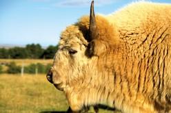Rzadkie narodziny w Wisconsin. Biały bizon zapowiada pokój