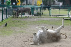 Poznan's amorous donkeys reunited after protest