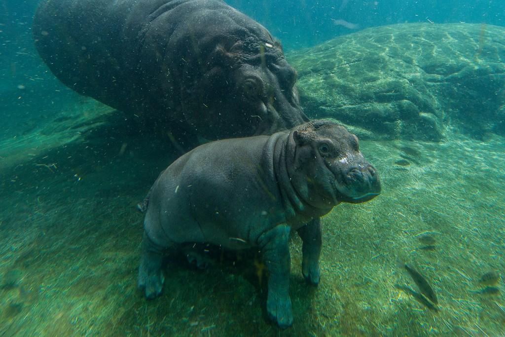 Devi fot.San Diego Zoo Facebook