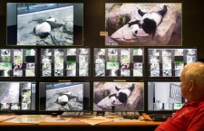 Giant panda Mei Xiang at Smithsonian's National Zoological Park