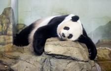 Giant panda Mei Xiang gives birth