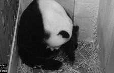 Giant panda Mei Xiang gives birth to twins in Washington