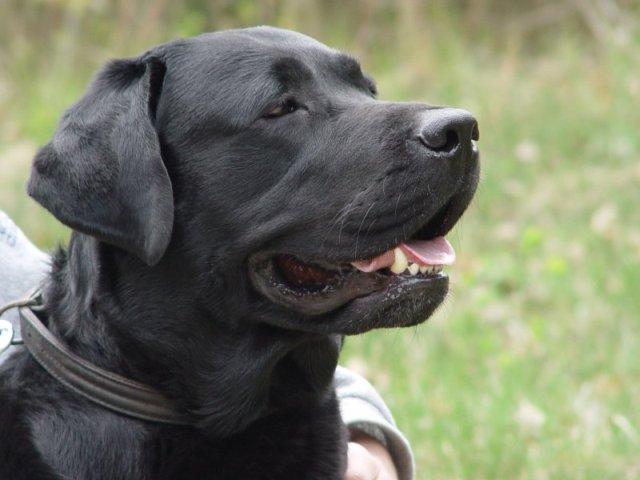 Labrador fot. Wikipedia
