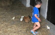 Alex Tsiatouchas ze swoimi kurczątkami
